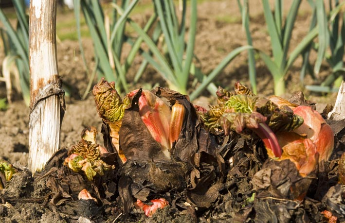crown of rhubarb on allotment